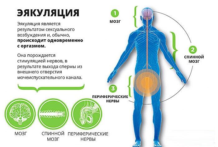 стадии эякуляции
